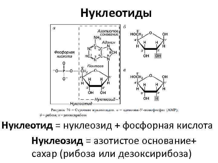 Нуклеотиды Нуклеотид = нуклеозид + фосфорная кислота Нуклеозид = азотистое основание+ сахар (рибоза или