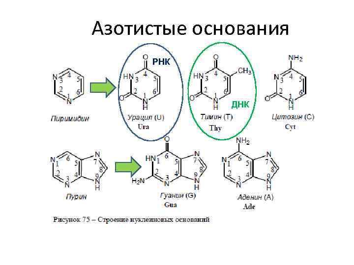 Азотистые основания РНК ДНК