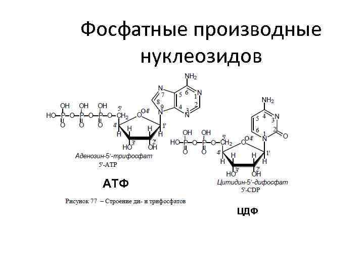 Фосфатные производные нуклеозидов АТФ ЦДФ