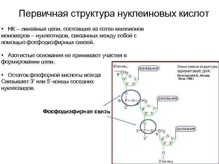 Первичная структура нуклеиновых кислот • НК – линейные цепи, состоящие из сотен миллионов мономеров
