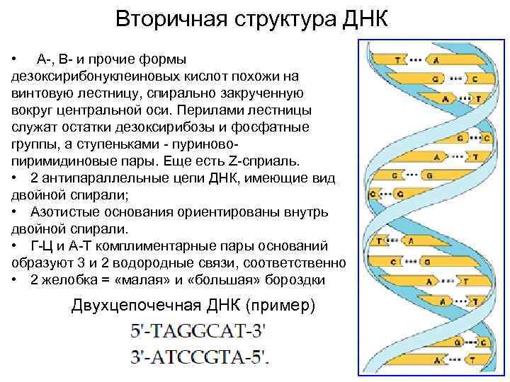 Вторичная структура ДНК • А-, В- и прочие формы дезоксирибонуклеиновых кислот похожи на винтовую