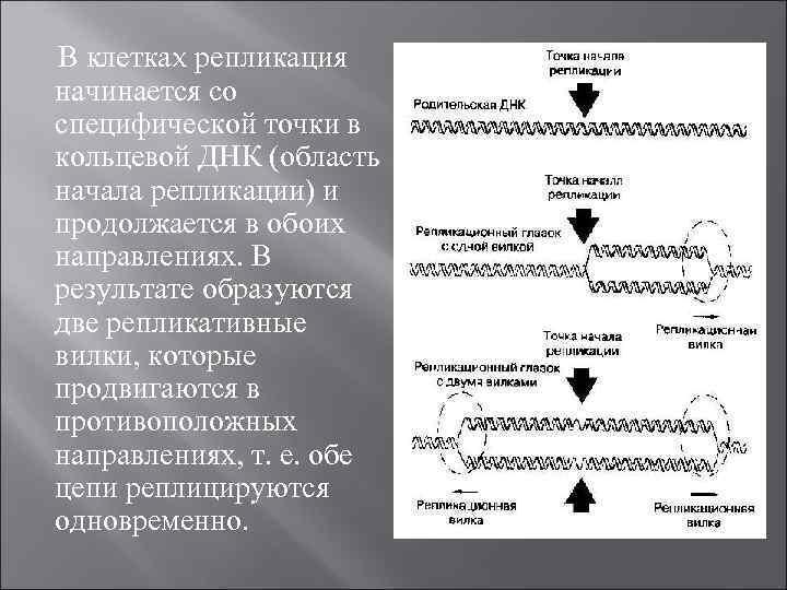 В клеткаx репликация начинается со специфической точки в кольцевой ДНК (область начала репликации) и