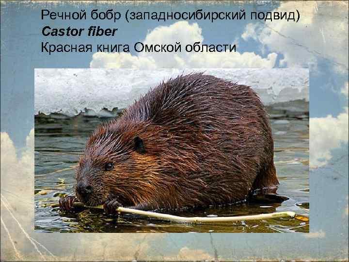 именно картинки животные занесенные в красную книгу черлакского района омской области панорамный