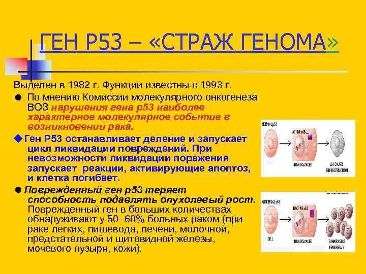 ГЕН Р 53 – «СТРАЖ ГЕНОМА» Выделен в 1982 г. Функции известны с 1993