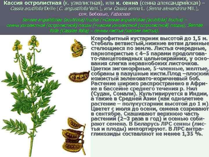 Кассия остролистная (к. узколистная), или к. сенна (сенна александрийская) – Cassia acutifolia Delile (C.