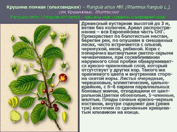 Крушина ломкая (ольховидная) – Frangula alnus Mill. (Rhamnus frangula L. ), сем. Крушиновые, Rhamnaceae