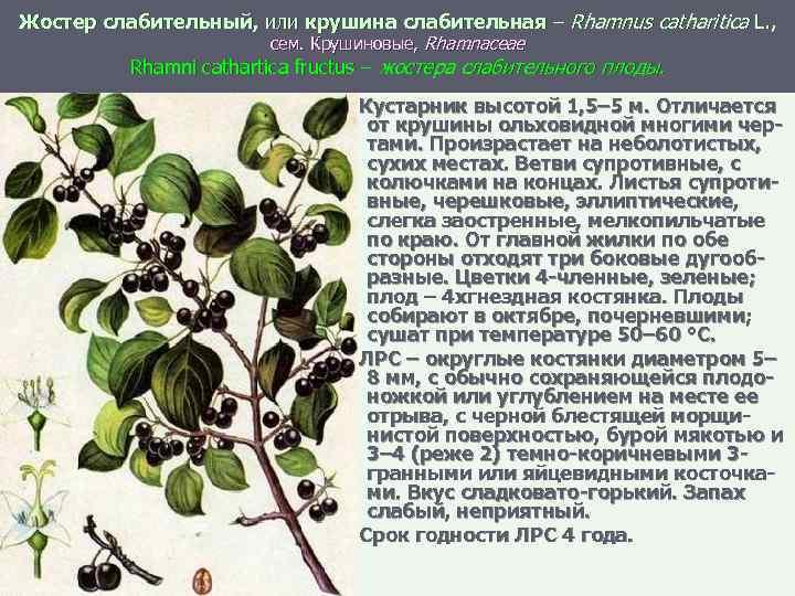 Жостер слабительный, или крушина слабительная – Rhamnus catharitica L. , сем. Крушиновые, Rhamnaceae Rhamni