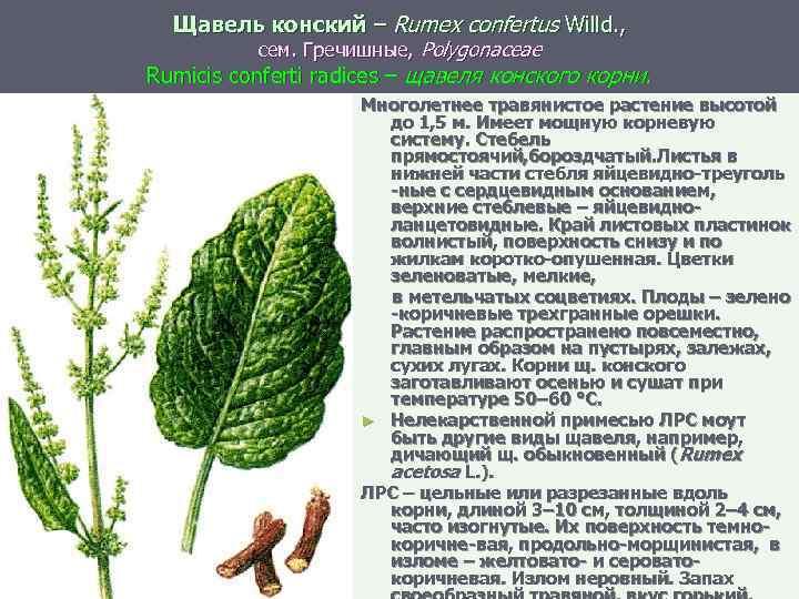 Щавель конский – Rumex confertus Willd. , сем. Гречишные, Polygonaceae Rumicis conferti radices –