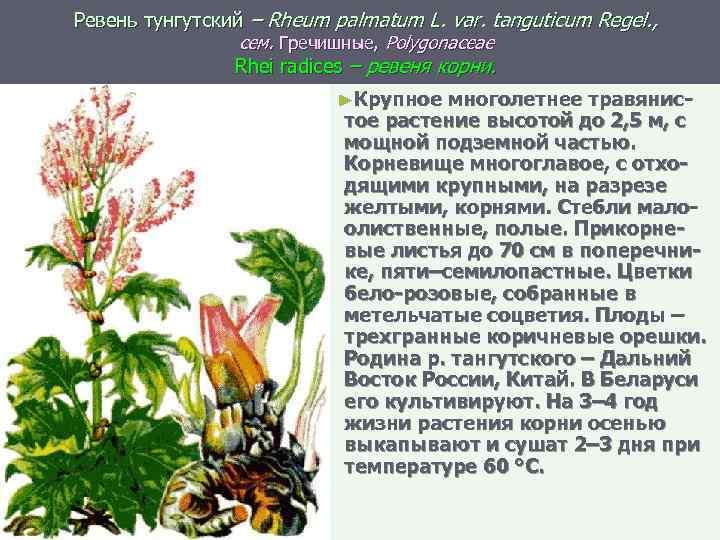 Ревень тунгутский – Rheum palmatum L. var. tanguticum Regel. , сем. Гречишные, Polygonaceae Rhei