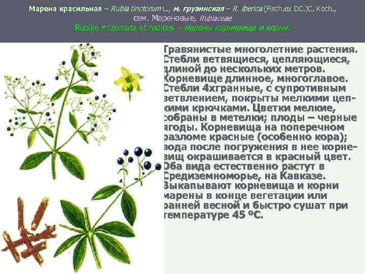Марена красильная – Rubia tinctorum L. , м. грузинская – R. iberica (Fisch. ex