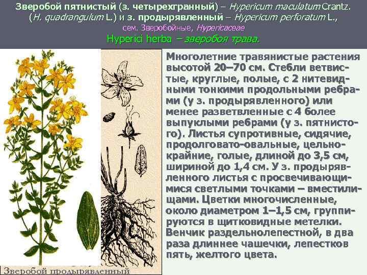 Зверобой пятнистый (з. четырехгранный) – Hypericum maculatum Crantz. (H. quadrangulum L. ) и з.
