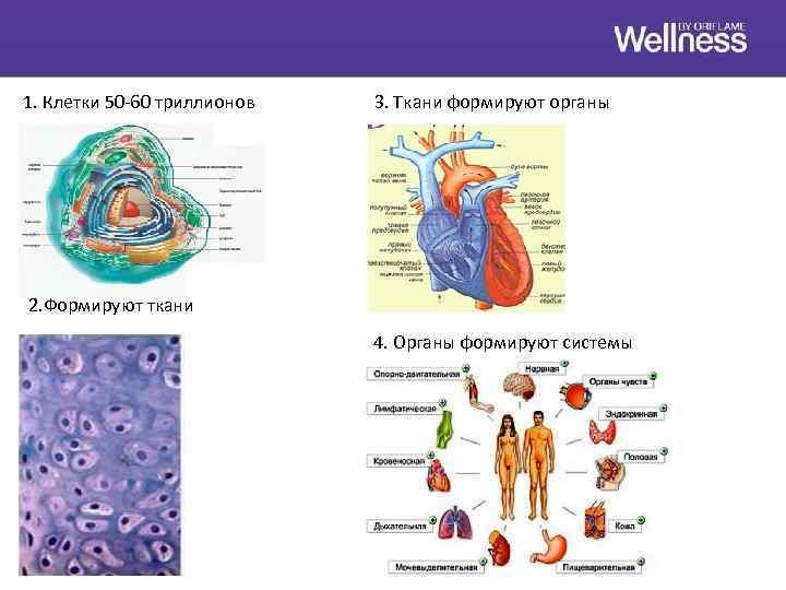 1. Клетки 50 -60 триллионов 3. Ткани формируют органы 2. Формируют ткани 4. Органы