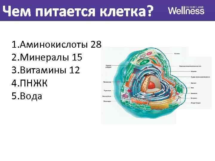 Чем питается клетка? 1. Аминокислоты 28 2. Минералы 15 3. Витамины 12 4. ПНЖК