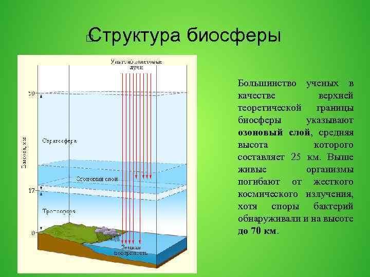 Структура биосферы Большинство ученых в качестве верхней теоретической границы биосферы указывают озоновый слой, средняя