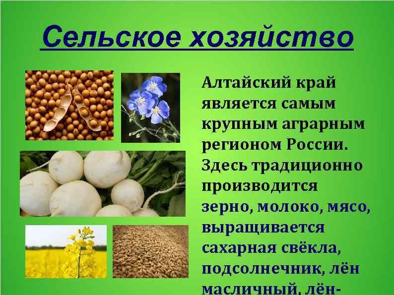 Сельское хозяйство Алтайский край является самым крупным аграрным регионом России. Здесь традиционно производится зерно,