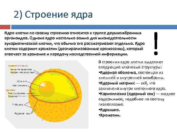 2) Строение ядра Ядро клетки по своему строению относится к группе двухмембранных органоидов. Однако