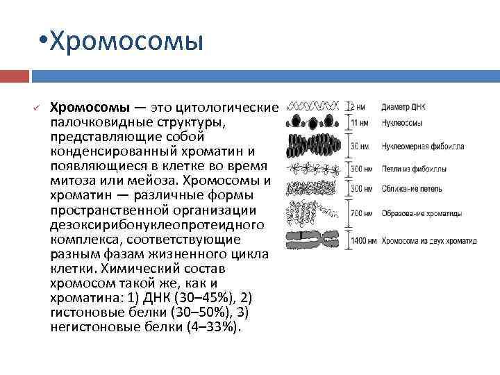 • Хромосомы ü Хромосомы — это цитологические палочковидные структуры, представляющие собой конденсированный хроматин