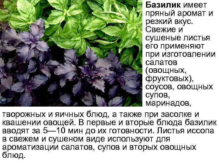 • Базилик имеет пряный аромат и резкий вкус. Свежие и сушеные листья его