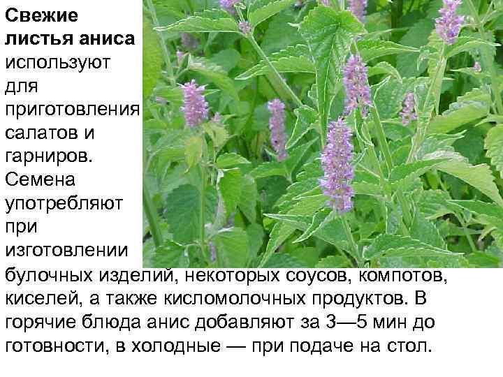 Свежие листья аниса используют для приготовления салатов и гарниров. Семена употребляют при изготовлении булочных
