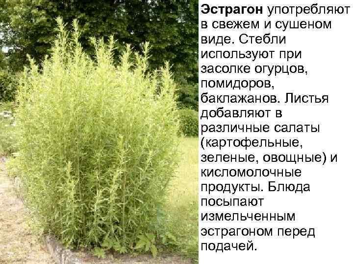 Эстрагон употребляют в свежем и сушеном виде. Стебли используют при засолке огурцов, помидоров, баклажанов.