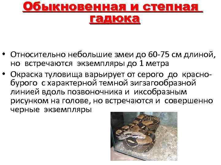 Обыкновенная и степная гадюка • Относительно небольшие змеи до 60 -75 см длиной, но