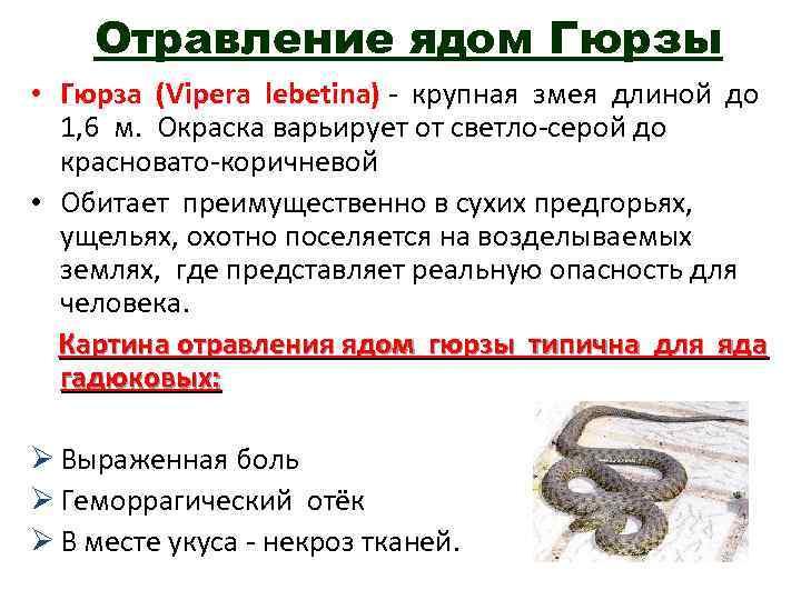 Отравление ядом Гюрзы • Гюрза (Vipera lebetina) - крупная змея длиной до 1, 6
