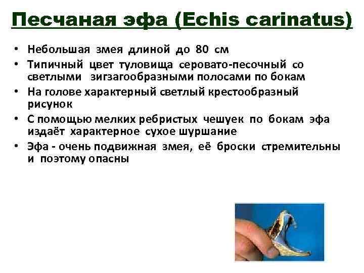 Песчаная эфа (Echis carinatus) • Небольшая змея длиной до 80 см • Типичный цвет