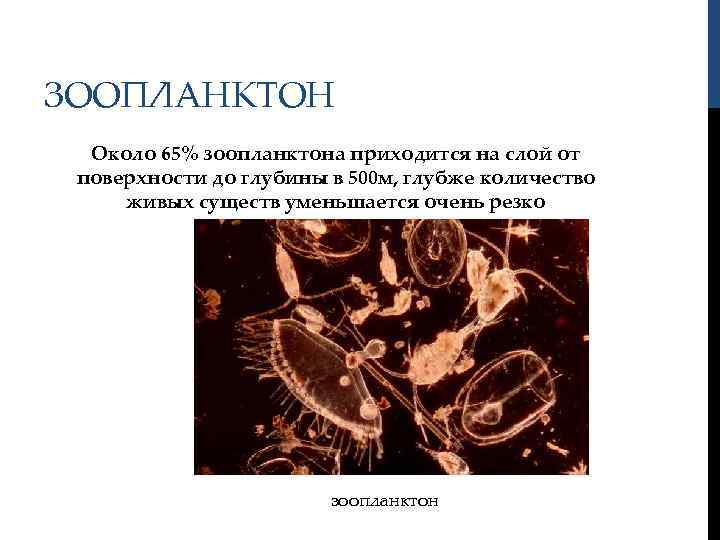 ЗООПЛАНКТОН Около 65% зоопланктона приходится на слой от поверхности до глубины в 500 м,