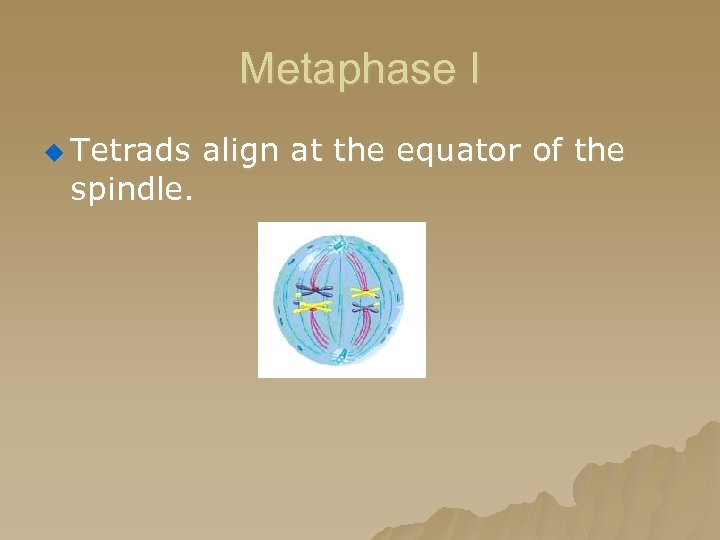 Metaphase I u Tetrads align at the equator of the spindle.