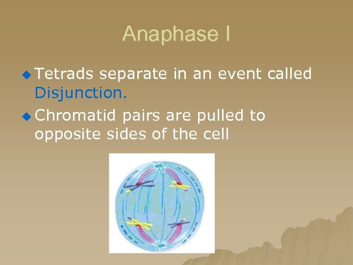 Anaphase I u Tetrads separate in an event called Disjunction. u Chromatid pairs are