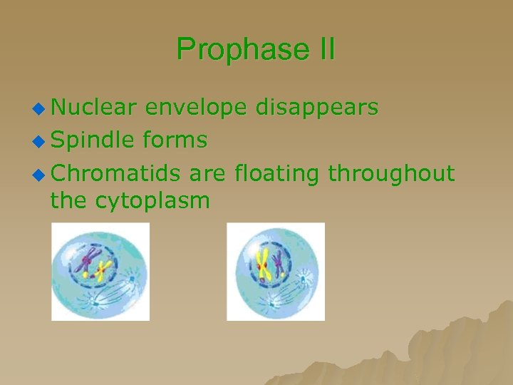 Prophase II u Nuclear envelope disappears u Spindle forms u Chromatids are floating throughout