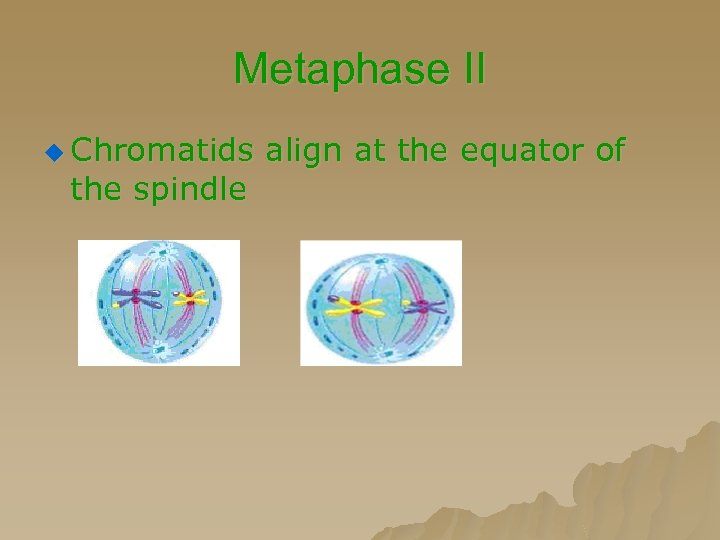 Metaphase II u Chromatids align at the equator of the spindle