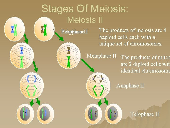 Stages Of Meiosis: Meiosis II Prophase I Telophase. II The products of meiosis are