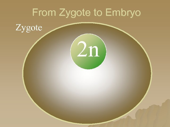 From Zygote to Embryo Zygote 2 n 2 n