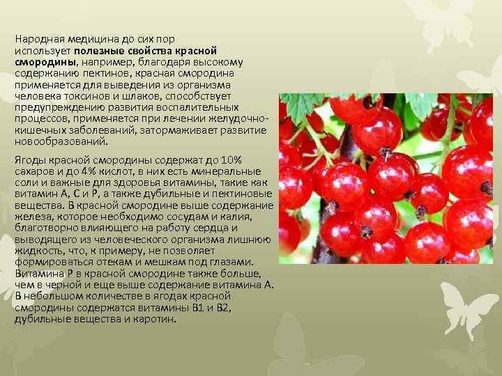 Народная медицина до сих пор использует полезные свойства красной смородины, например, благодаря высокому содержанию