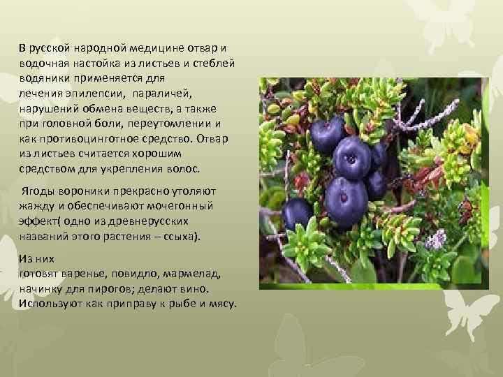В русской народной медицине отвар и водочная настойка из листьев и стеблей водяники применяется