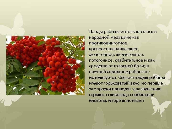 Плоды рябины использовались в народной медицине как противоцинготное, кровоостанавливающее, мочегонное, желчегонное, потогонное, слабительное и