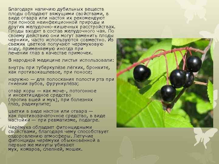 Благодаря наличию дубильных веществ плоды обладают вяжущими свойствами, в виде отвара или настоя их