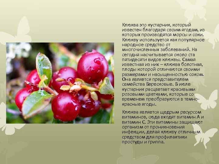 Клюква это кустарник, который известен благодаря своим ягодам, из которых производятся морсы и соки.