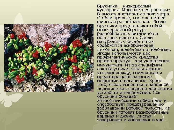 Брусника – низкорослый кустарник. Многолетнее растение. В высоту достигает до полуметра. Стебли прямые, система