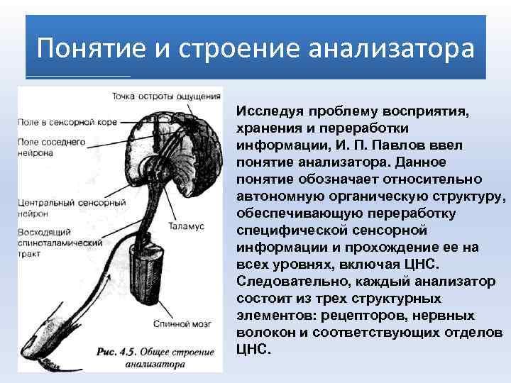 Понятие и строение анализатора Исследуя проблему восприятия, хранения и переработки информации, И. П. Павлов