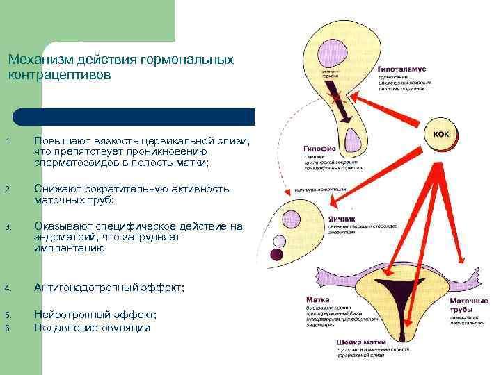 Механизм действия гормональных контрацептивов 1. Повышают вязкость цервикальной слизи, что препятствует проникновению сперматозоидов в