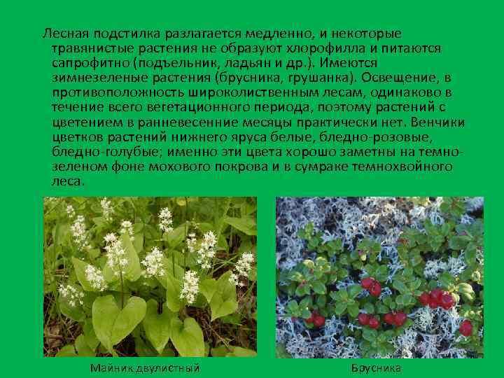 Лесная подстилка разлагается медленно, и некоторые травянистые растения не образуют хлорофилла и питаются сапрофитно