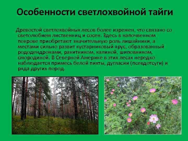 Особенности светлохвойной тайги Древостой светлохвойных лесов более изрежен, что связано со светолюбием лиственниц и