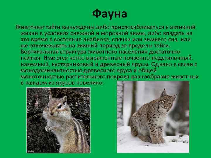 Фауна Животные тайги вынуждены либо приспосабливаться к активной жизни в условиях снежной и морозной