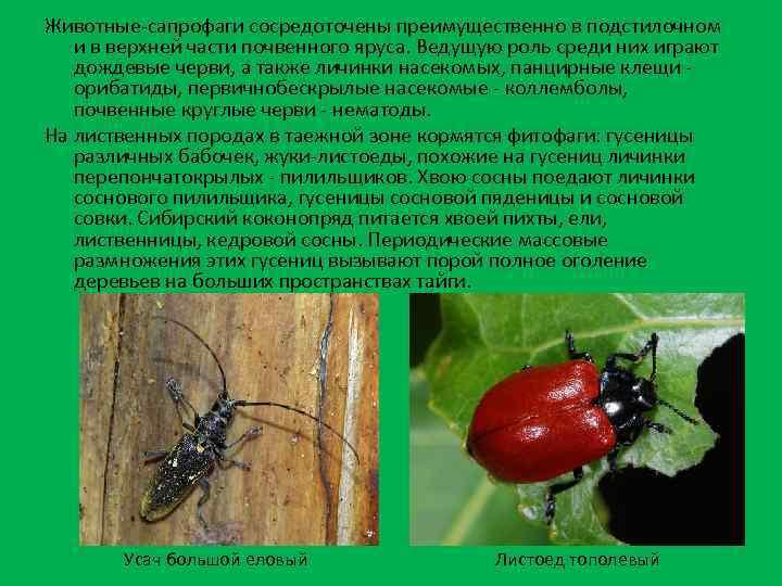 Животные-сапрофаги сосредоточены преимущественно в подстилочном и в верхней части почвенного яруса. Ведущую роль среди