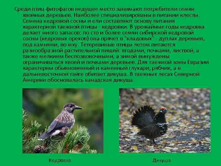 Среди птиц-фитофагов ведущее место занимают потребители семян хвойных деревьев. Наиболее специализированы в питании клесты.