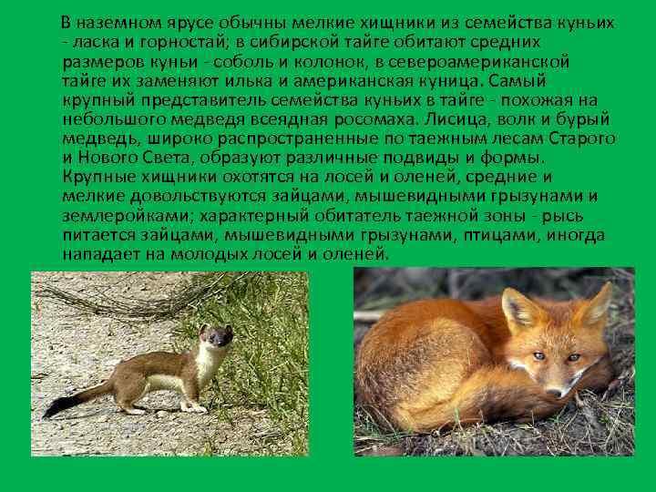 В наземном ярусе обычны мелкие хищники из семейства куньих - ласка и горностай; в