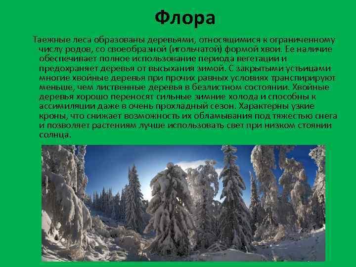 Флора Таежные леса образованы деревьями, относящимися к ограниченному числу родов, со своеобразной (игольчатой) формой