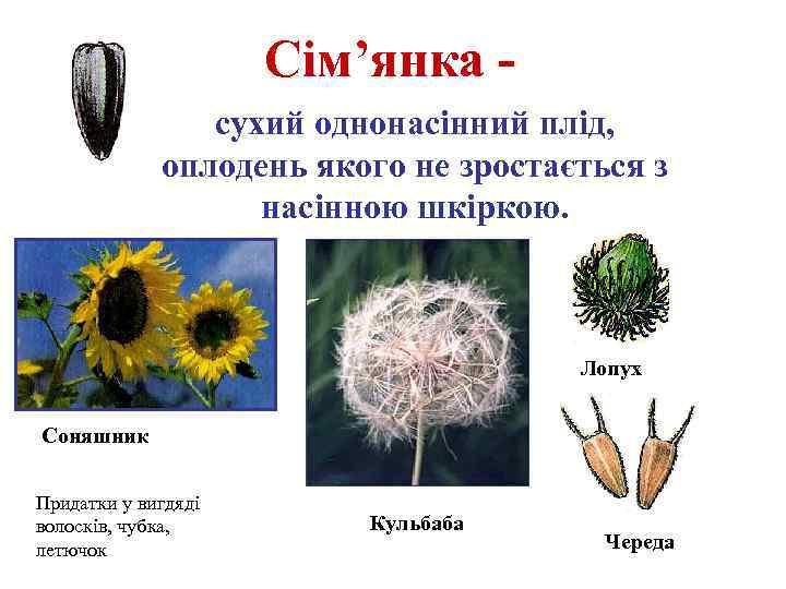 Сім'янка сухий однонасінний плід, оплодень якого не зростається з насінною шкіркою. Лопух Соняшник Придатки